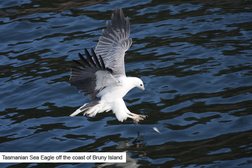 Peppermint-Bay-Cruises_Tasmanian-Sea-Eagle