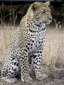 African leopard at Serengeti National Park  Courtesy:  Wikipedia