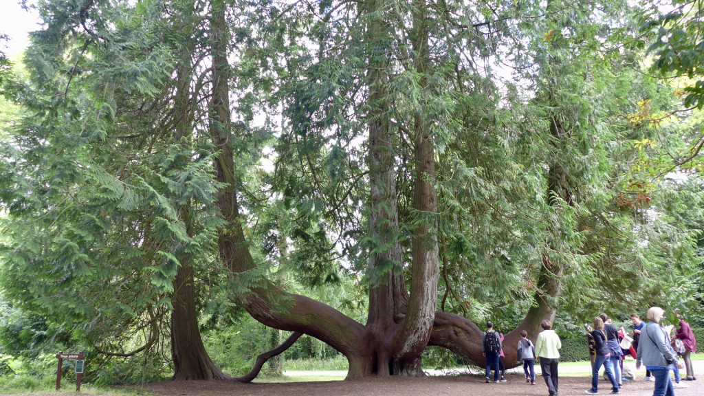 Unusual, naturally shaped Western Red Cedar (Thuja plicate) Blarney Castle parkland  Photograph:  GRACIE